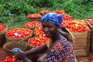 La introducción de nuevas variedades de semillas, fortalecerá la producción de tomates y hortalizas.