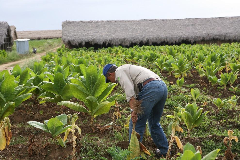cosecheros de tabaco externaron su preocupacion por las dramaticas reducciones de la demanda del producto
