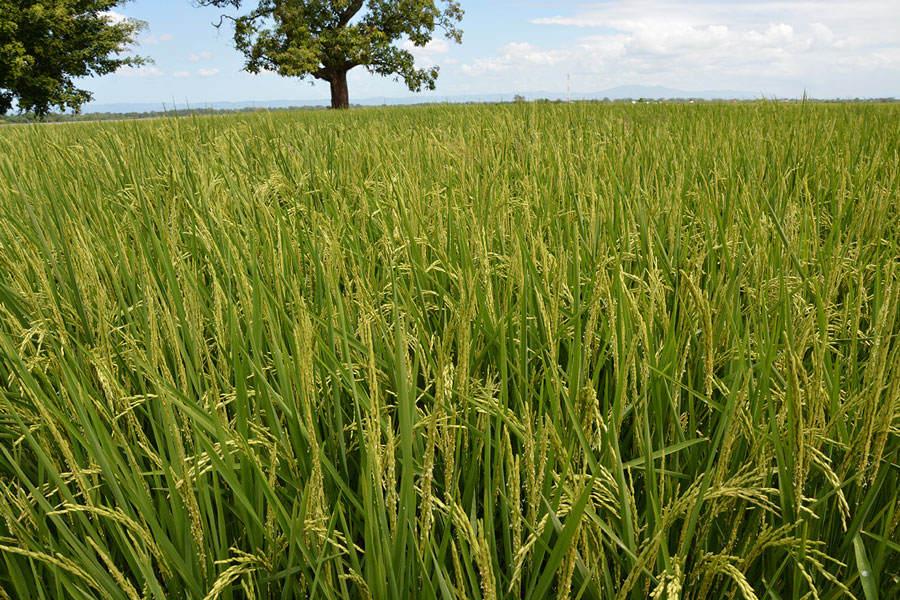 Ruta agropecuaria de la producción nacional. Plantaciones de arroz.? LÉSTHER ÁLVAREZ