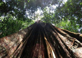 Árbol grande del Amazonas. | Europa Press.  Árbol grande del Amazonas    (Foto de ARCHIVO)  1/1/1970