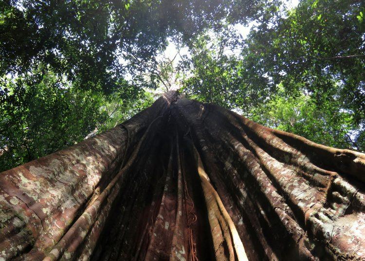 Árbol grande del Amazonas.   Europa Press.  Árbol grande del Amazonas    (Foto de ARCHIVO)  1/1/1970