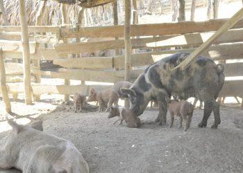 La fiebre porcina africana es altamente contagiosa.