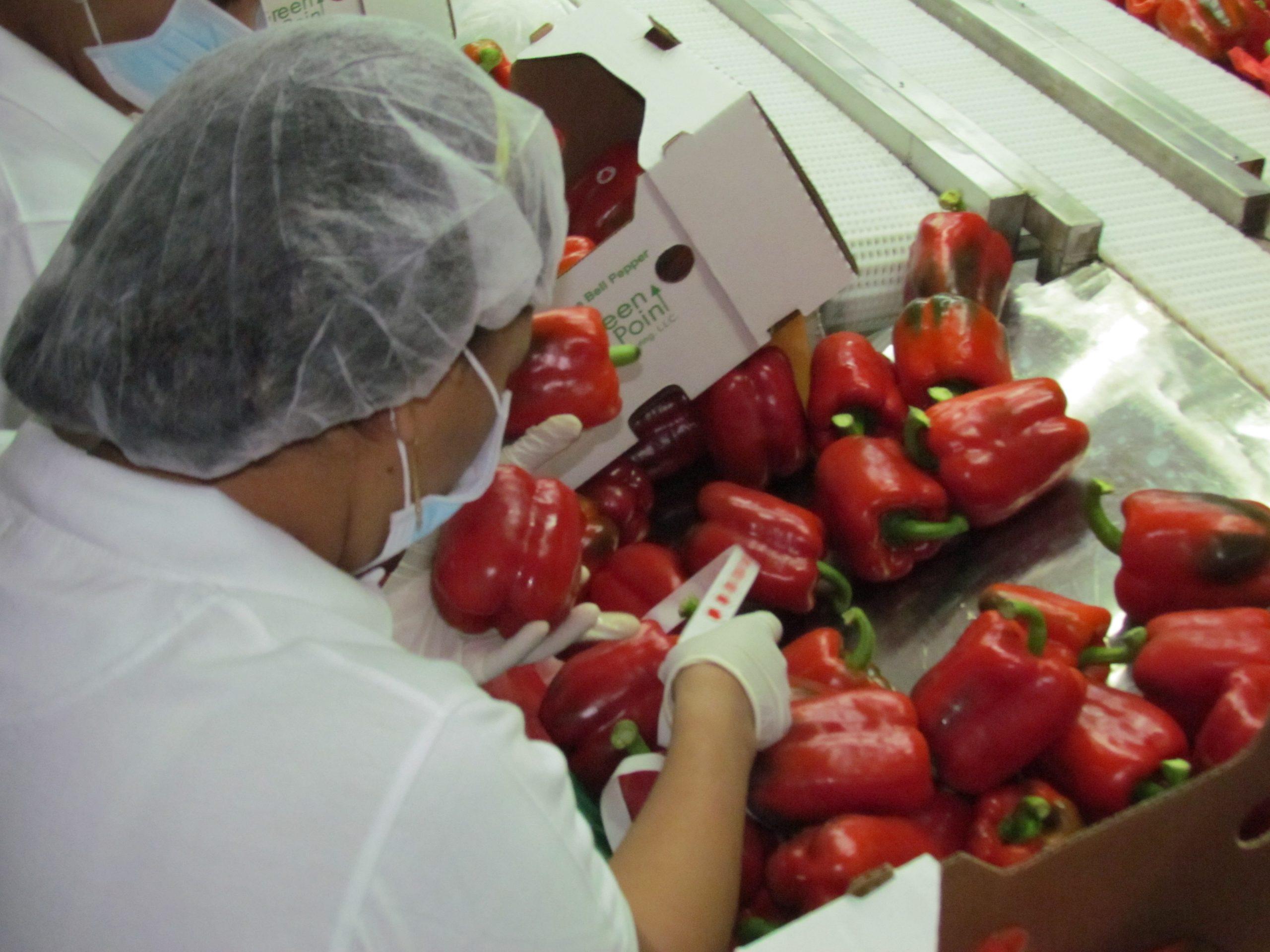 El país ha logrado establecer un importante mercado receptor de los vegetales que se producen en los invernaderos locales. Foto: JAIRON SEVERINO