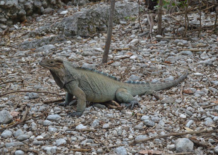 Iguana Rinoceronte, de Yolanda Leon, proyecto en Barahona.