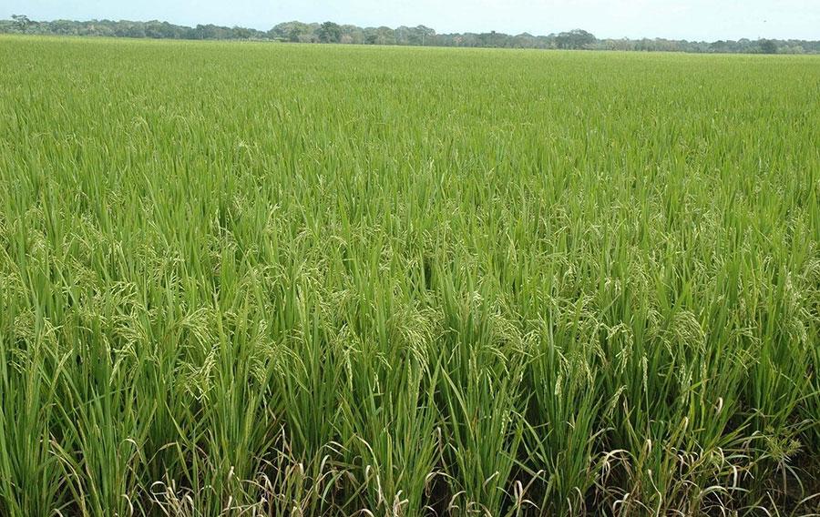 arroz productores dominicanos