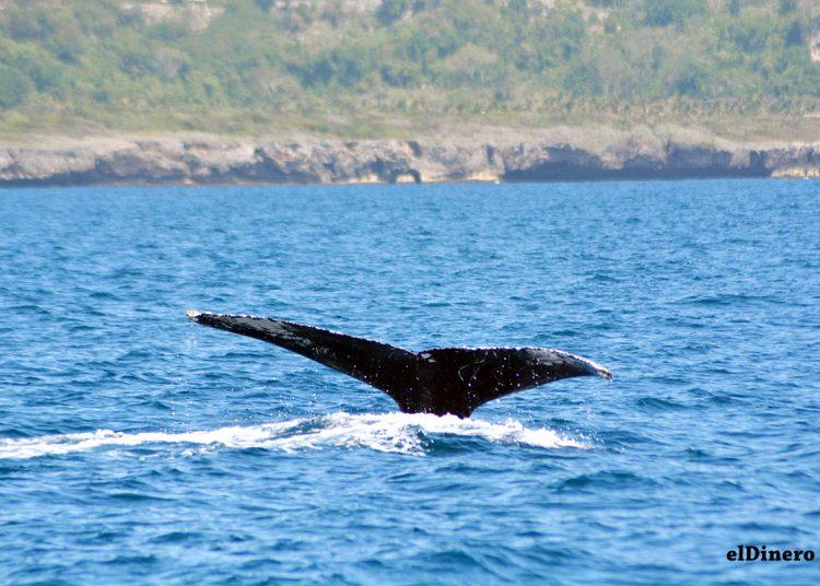 Las ballenas jorobadas pueden nadar a una velocidad de 27 kilómetros por hora y recorren hasta 5,250 kilómetros de distancia. | Lésther Álvarez