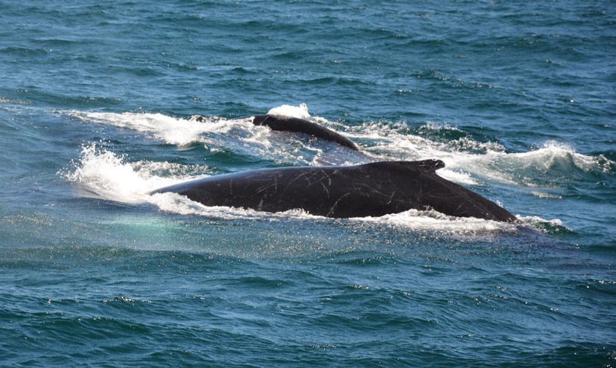 El santuario de mamíferos marinos fue creado mediante el decreto 319-86, de 14 de Octubre de 1986, con una extensión de 6,000 millas cuadradas. | Gabriel Alcántara