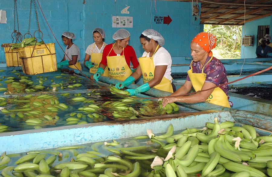 Mujeres lavoradas de guineo en el proyecto Cruz de Manzanillo.