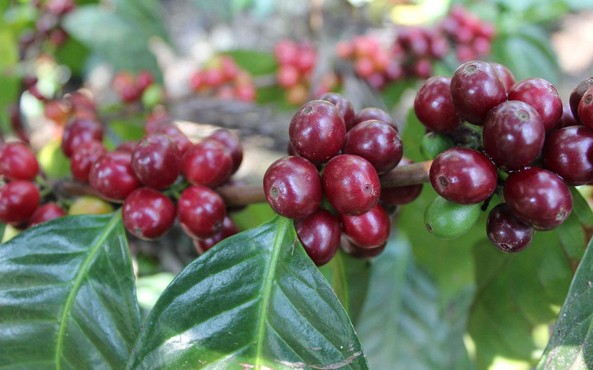 cafe dominicano induban