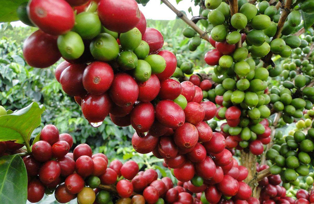 cafe dominicano produccion