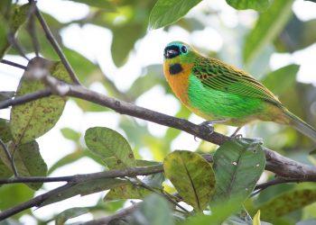 Un ejemplar de tángara, un género de aves paseiformes que se encuentra en Panamá y en otros países de Centroamérica y Suramérica.   Gabriel Ribeiro, Pixabay.