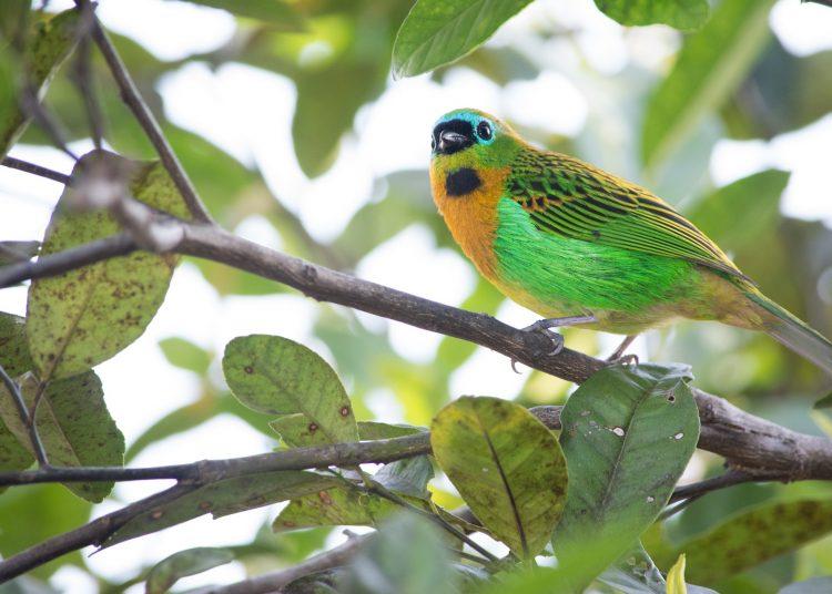 Un ejemplar de tángara, un género de aves paseiformes que se encuentra en Panamá y en otros países de Centroamérica y Suramérica. | Gabriel Ribeiro, Pixabay.