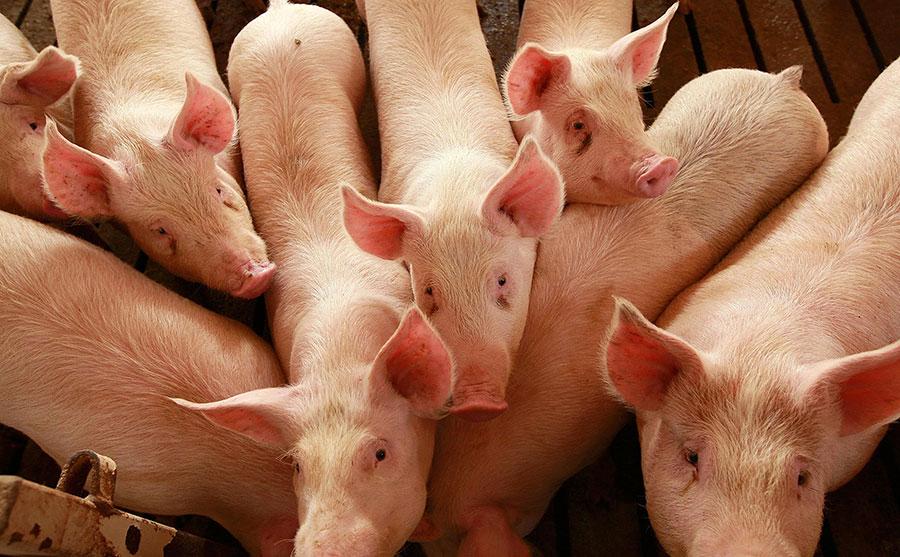 carne-blanca-cerdos