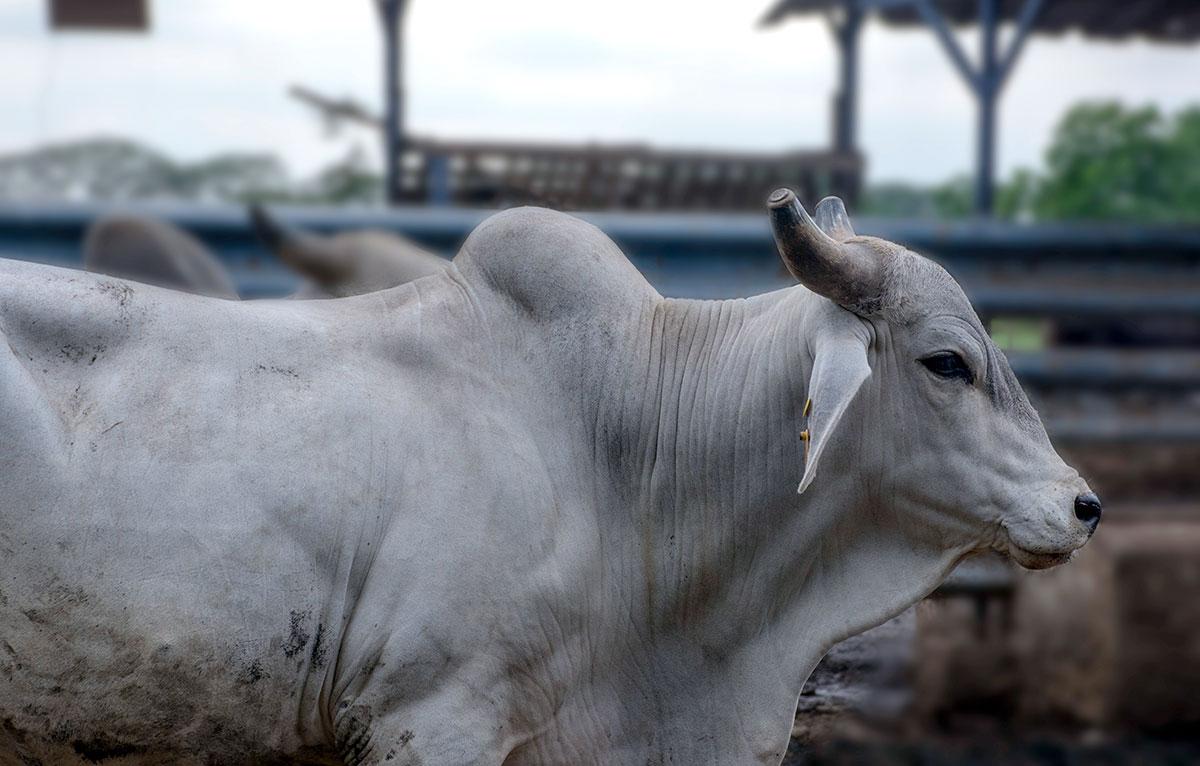 exportacion de carne ganaderia dominicana