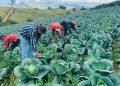 guayabal-agricultura