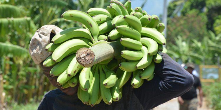 guineo-exportaciones-nacionales