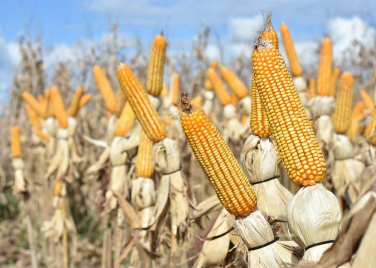 maíz rd
