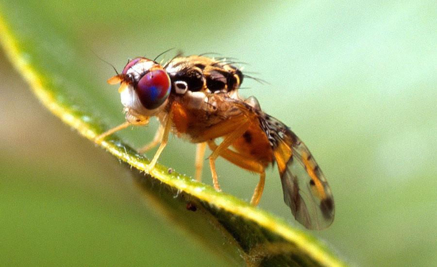 La mosca del Mediterráneo causa graves daños a variedades de frutas y vegetales.