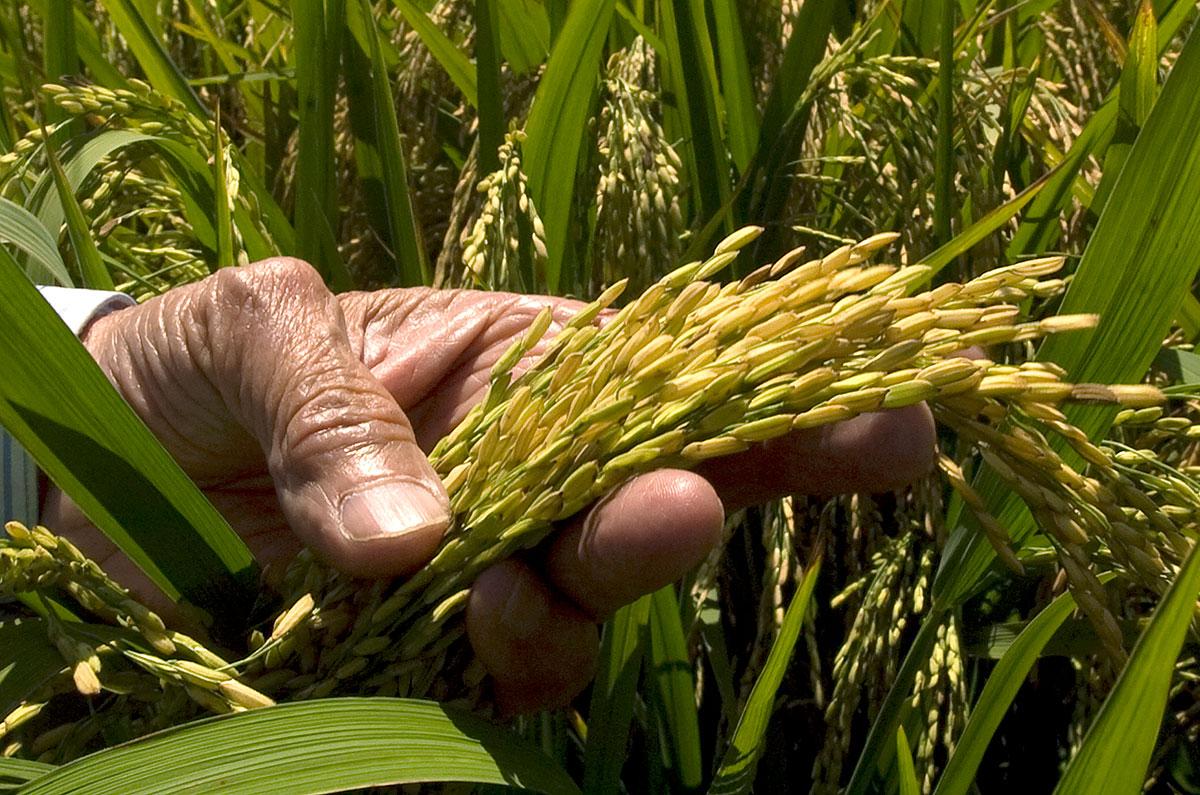 precio del arroz factorias