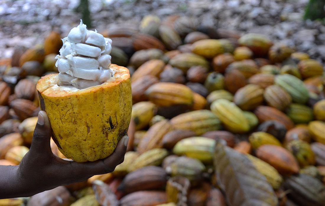 produccion de cacao organico