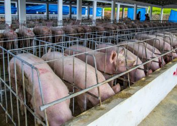 produccion-de-cerdos