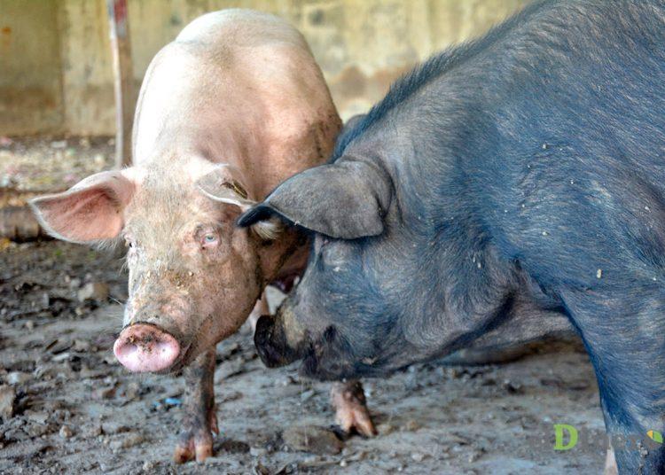 produccion-de-cerdos-fiebre-porcina