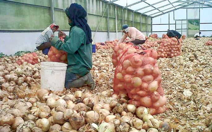 Productores de cebolla en riesgo de pérdidas millonarias
