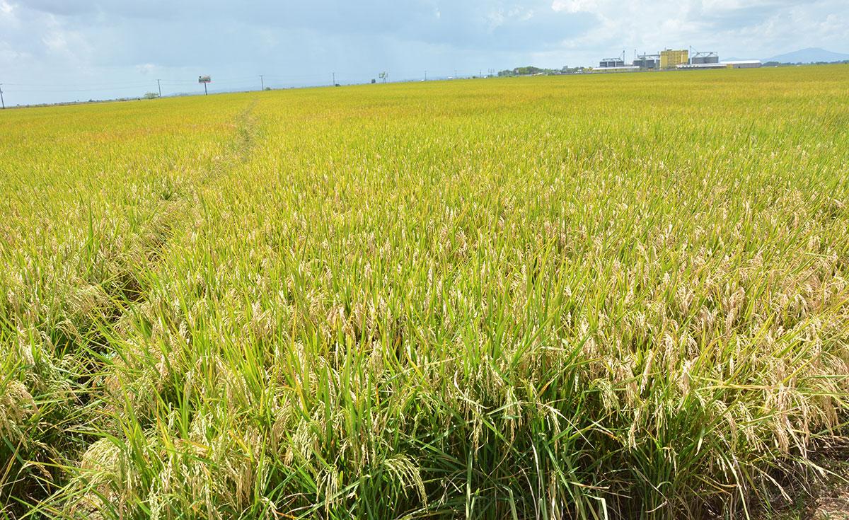 ruta turistica de arroz 6