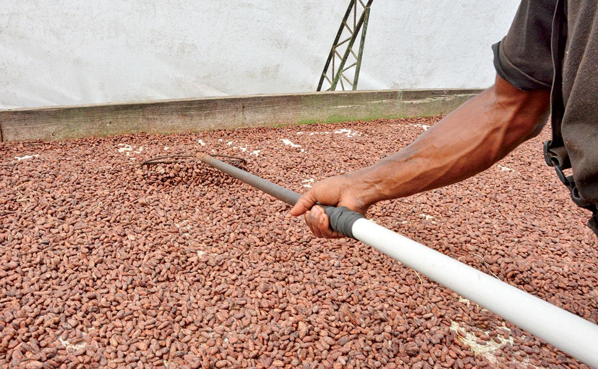 secado del cacao