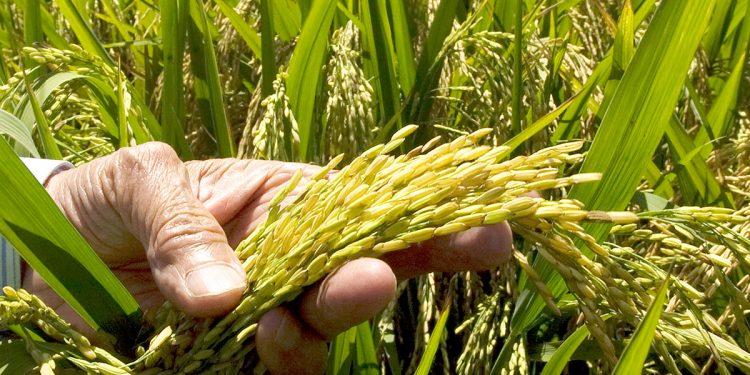 Los niveles de rendimiento de la producción de arroz en República Dominicana son de 4.51 quintales por tarea, con poca variación en la última década.