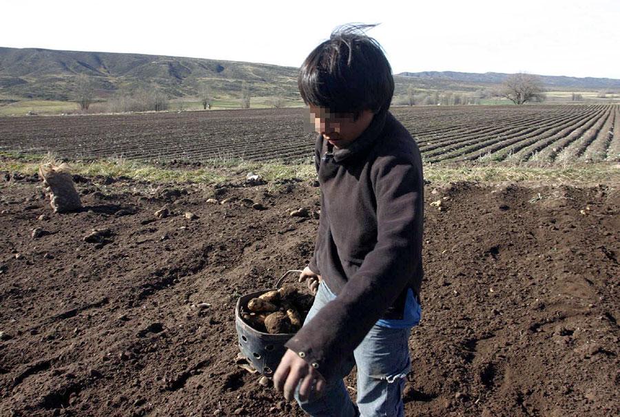 trabajo agricola infantil
