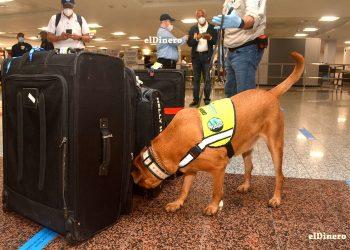 Con precaución los perros olfatean el equipaje de las personas identificando olores de alimentos, plantas y semillas.